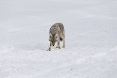 Coyote, Winter, Yellowstone NP Stock Photo