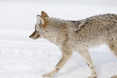 Coyote, Winter, Yellowstone NP Royalty Free Stock Photo