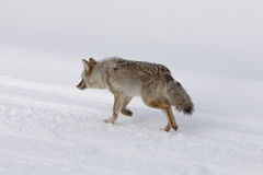 Coyote, Winter, Yellowstone NP Royalty Free Stock Image