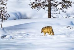Free Coyote With Winter Coat Walks Away Into The Forest And Deep Snow Stock Image - 141047181