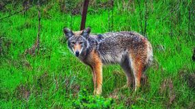 Coyote. Wolf sanfrancisco colourful woooooo Royalty Free Stock Photo