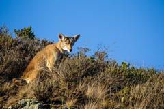 Coyote & x28; Canis latrans& x29; Royalty-vrije Stock Afbeelding
