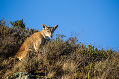 Coyote (Canis latrans) Royalty Free Stock Image