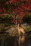 Coyote (Canis latrans) Howls in Pond Royalty Free Stock Photos