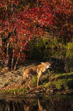 Coyote (Canis latrans) Howls on Shoreline Stock Image