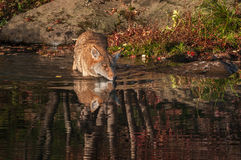 Coyote & x28;Canis latrans& x29; Walks Into Water Royalty Free Stock Image