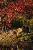 Coyote & x28; Latrans& x29 del canis; Urla su Shoreline Immagine Stock