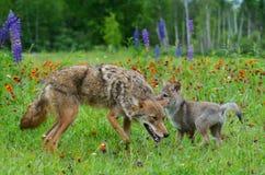 Coyote y jóvenes adultos Wolf Pup en el campo de wildflowers Imagenes de archivo