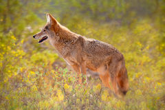 Coyote among Yellow Flowers. Coyote standing in field of yellow brittle bush flowers in the American Southwest Stock Photo