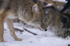 Coyote in Yellowstone National Stock Photography