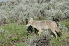 Coyote in Yellowstone National Park Royalty Free Stock Images