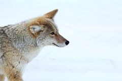 Coyote in Yellowstone National Park. Photograph of a beautiful coyote in Yellowstone National Park in winter Royalty Free Stock Photo
