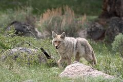 Coyote, Yellowstone NP Fotografia Stock