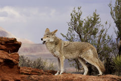 Coyote Yelping. On red sandstone ledge with brush and distant mountain in background Stock Images