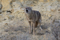Coyote yelping in canyon Royalty Free Stock Photography