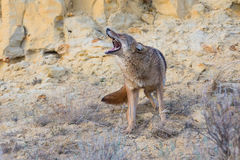Coyote yelping in prairie stock photography