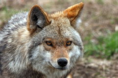 Coyote. Young coyote fixed on prey Royalty Free Stock Images
