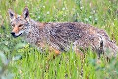 Coyote, Yukon Territories, Canada Royalty Free Stock Photos