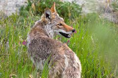 Coyote, Yukon Territories, Canada Royalty Free Stock Photography
