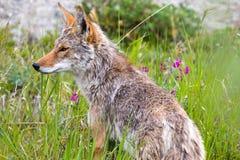 Coyote, Yukon Territories, Canada Stock Photos