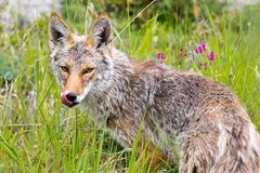 Coyote, Yukon Territories, Canada stock image