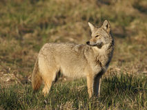 Coyote2. Coyote in the wild in early spring Stock Photography