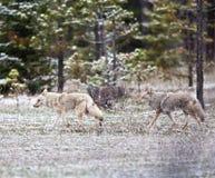 Coyotes Stock Photos