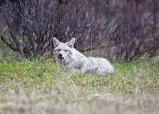 Coyotes Royalty Free Stock Photos