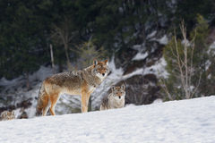 Coyotes. The coyote Canis latrans is one of the seven representatives of the Canidae family found in Canada. Other members of the family are the wolf, red fox Royalty Free Stock Images