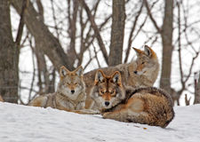 Coyotes. The coyote Canis latrans is one of the seven representatives of the Canidae family found in Canada. Other members of the family are the wolf, red fox Stock Photos