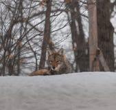 Coyotes canadienses en la nieve Fotos de archivo