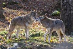 Coyotes couple Stock Photos