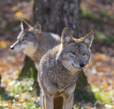 Coyotes couple Stock Image
