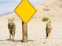 Coyotes of Death Valley. Coyotes looking for handouts along the road stock images