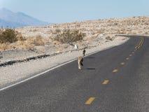 Coyotes en la carretera imagen de archivo libre de regalías