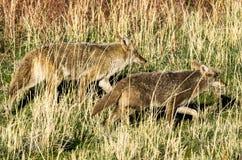 Coyotes en la caza Fotografía de archivo