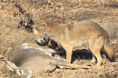 Free Coyotes Fighting Over Food Royalty Free Stock Photos - 37944678