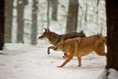 Coyotes fonctionnant dans la neige Photographie stock