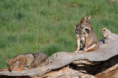 Coyotes on a old tree. Stock Photo