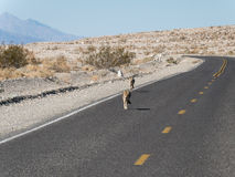 Coyotes op de weg royalty-vrije stock afbeelding