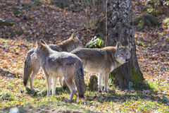 Coyotes pack Royalty Free Stock Photo