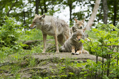 Coyotes pack Stock Photography