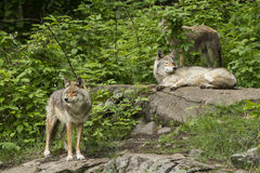 Coyotes pack Stock Photo