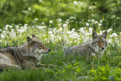 Coyotes pair Stock Image