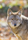 Coyotes Portrait Stock Photography