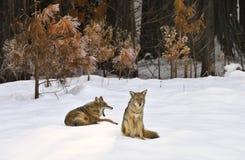 Coyotes salvajes de reclinación en la nieve, valle de Yosemite, parque nacional de Yosemite Fotografía de archivo