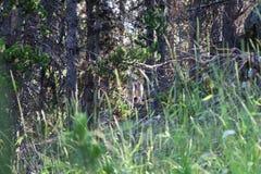 Coyotes tijdens een wandeling bij het Nationale Park van Yellowstone van de Pelikaankreek stock foto's