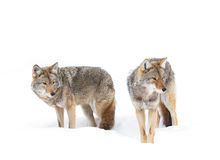 Coyotes walking in the snow Stock Images