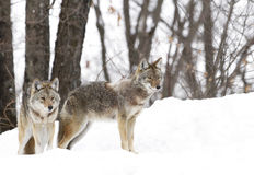 Two Coyotes (Canis latrans) walking and hunting in the winter snow in Canada stock image