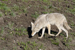 Coyotes in Yellowstone Stock Photography